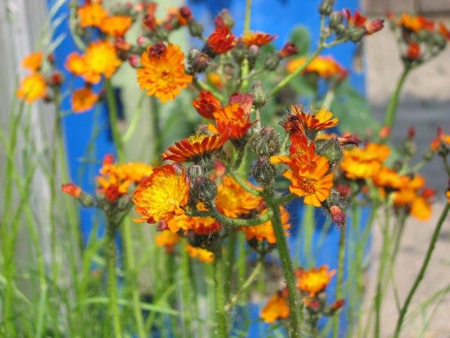 19_oranges Habichtskraut.jpg