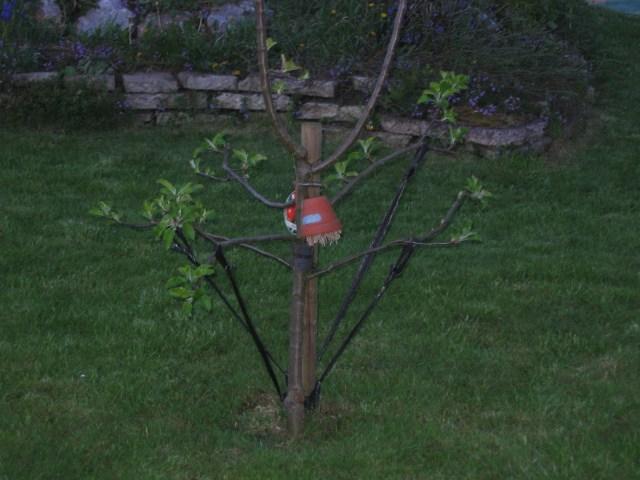 8b_Apfelbaum mit Ohrenkneifertopf_Pep und co 067.jpg