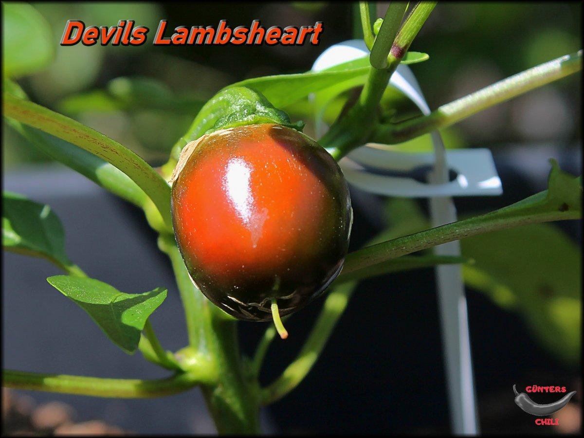 Devils Lambsheart_.jpg