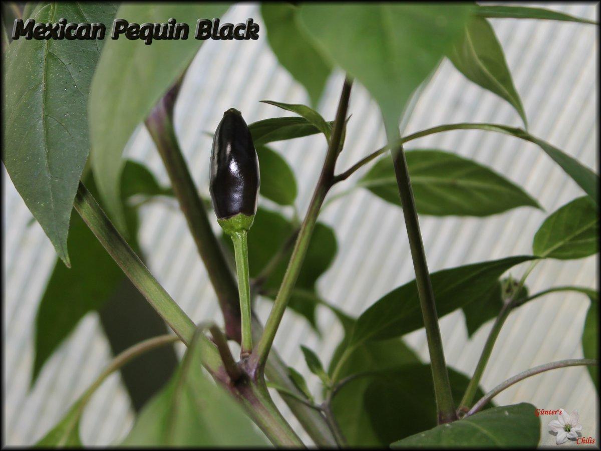 Mexican Pequin Black.JPG