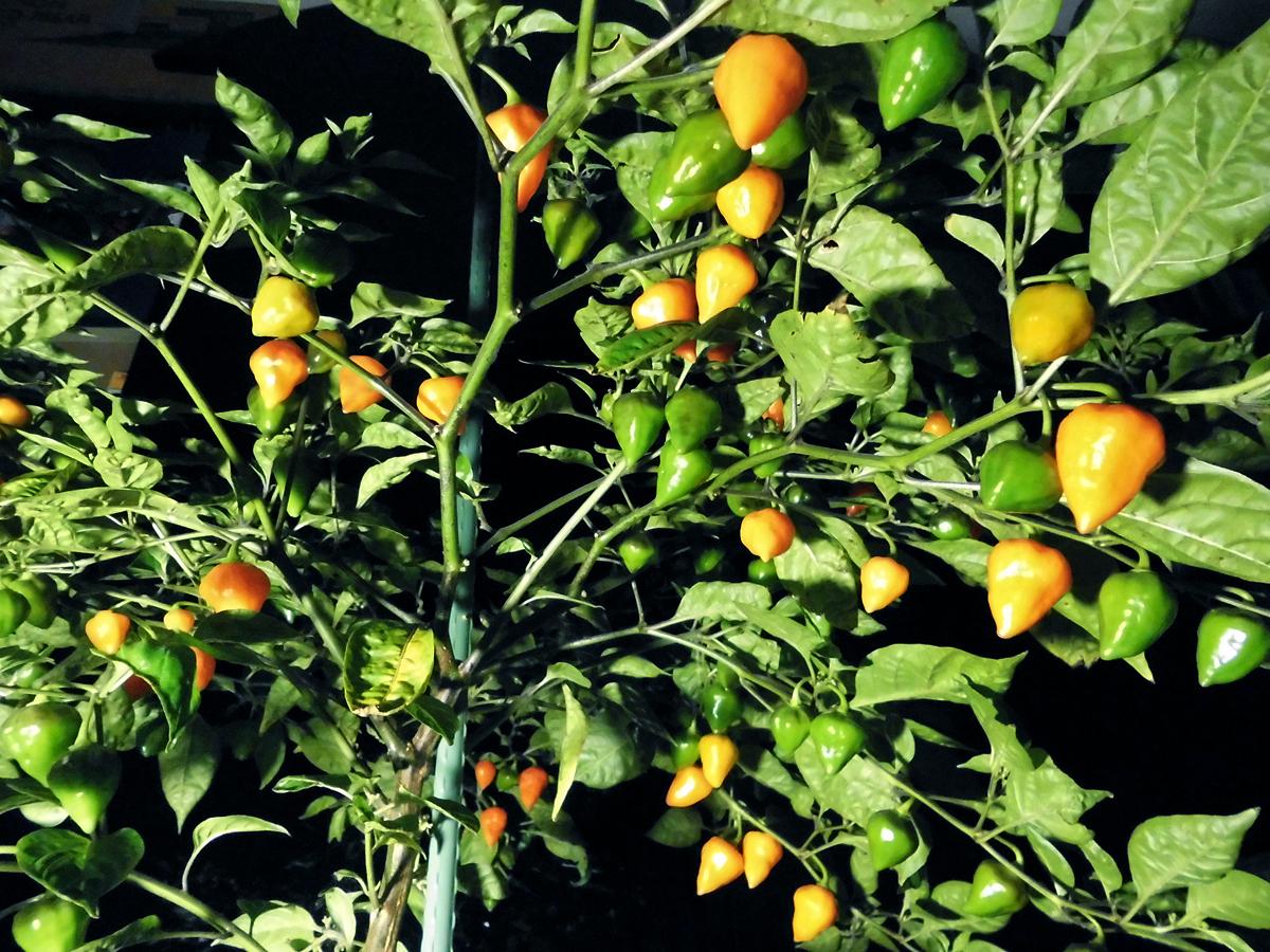 OL_ripe-fruits-1.jpg