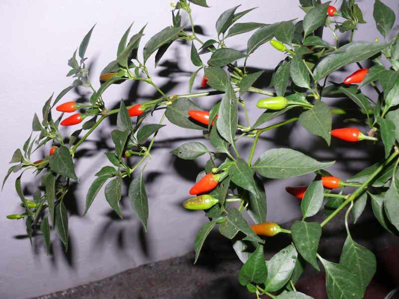 P1170454 so genannte Enchilada.jpg