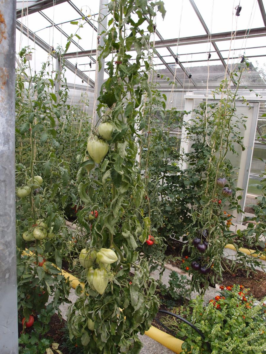 Pomodoro Cuore Antico di Acqui Terme - Pflanze.jpg