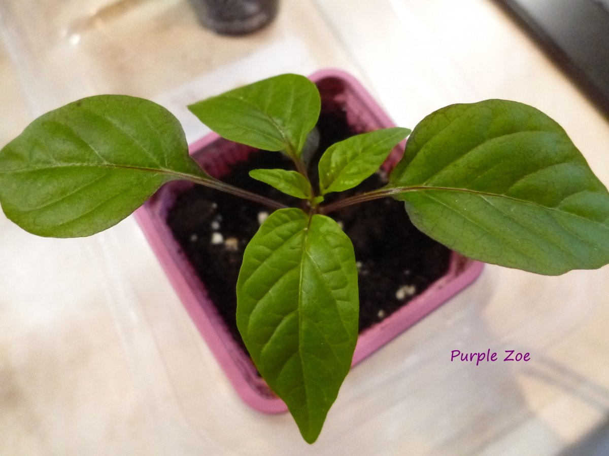 Purple Zoe.jpg