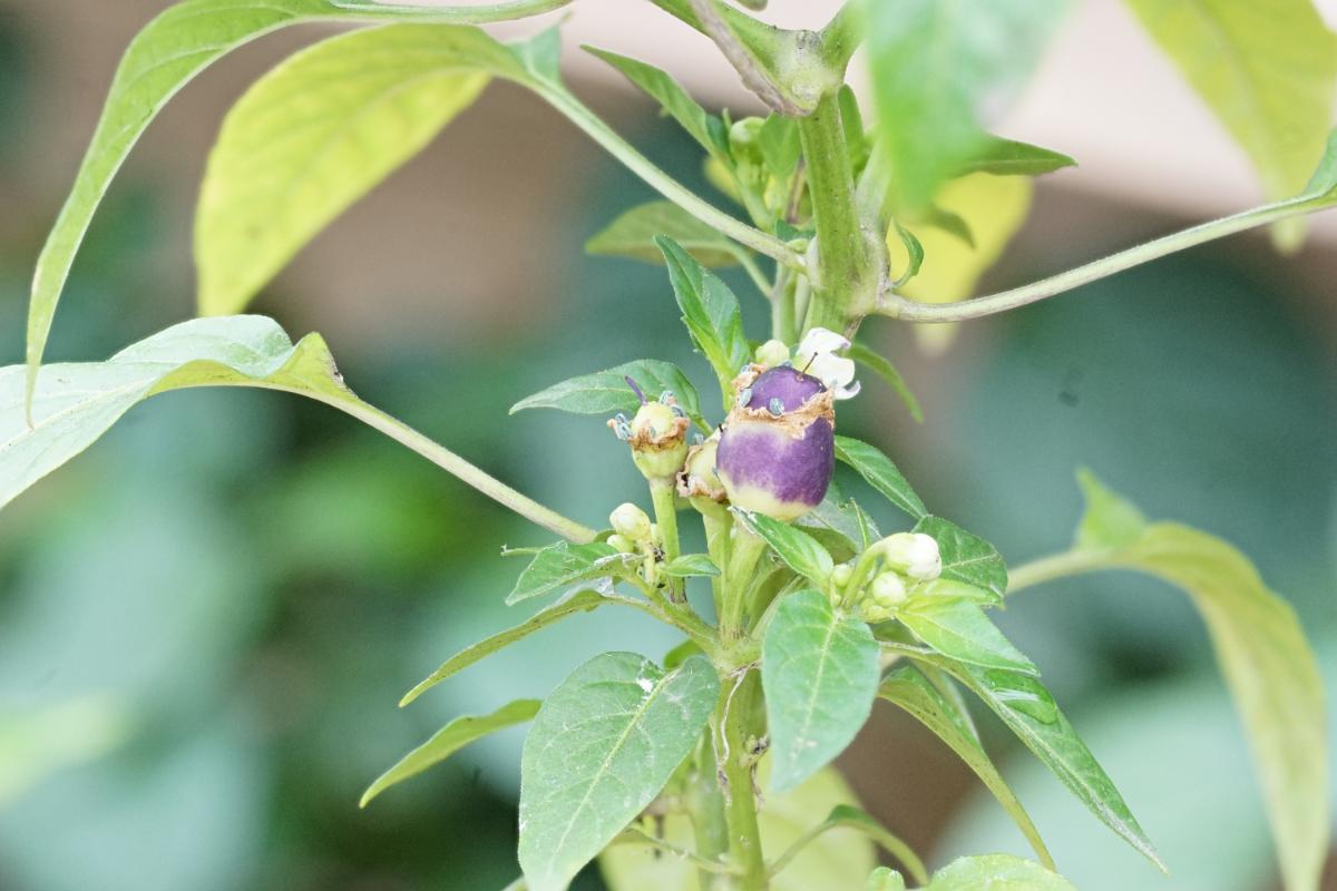 purpleloco.jpg