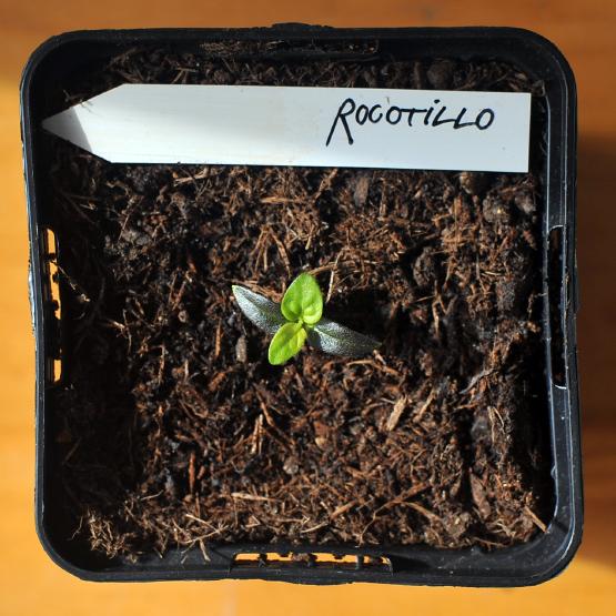 rocotillo-II.jpg