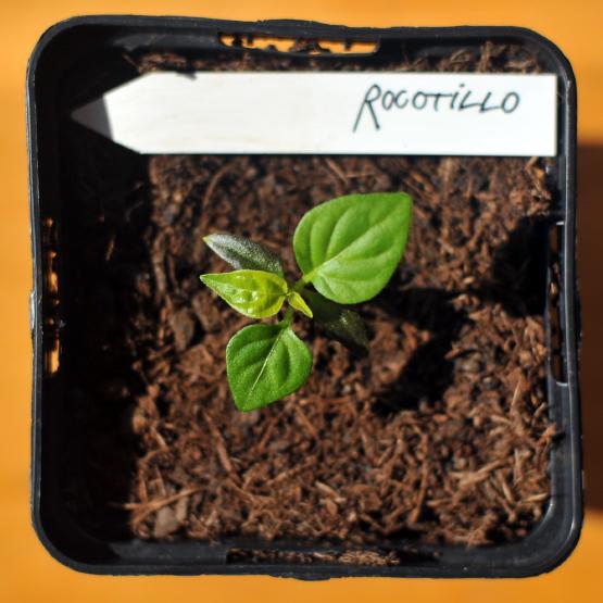 rocotillo-III.jpg
