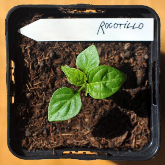 rocotillo-IIII.jpg