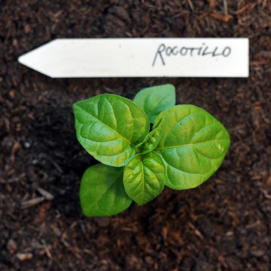 rocotillo-IIIII.jpg