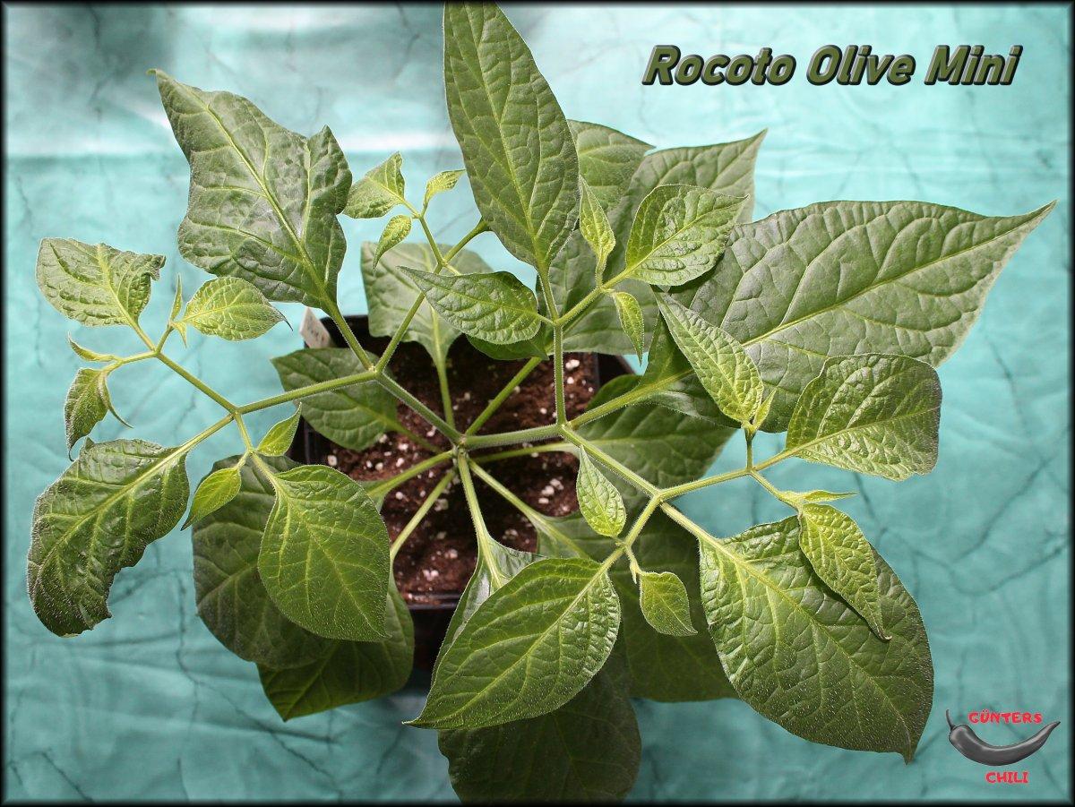 Rocoto Olive Mini 05042021_.jpg