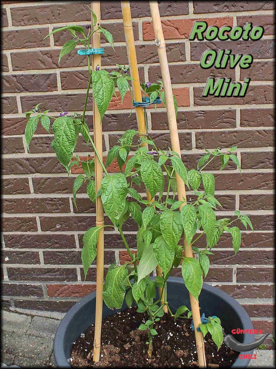 Rocoto Olive Mini 05062021.jpg
