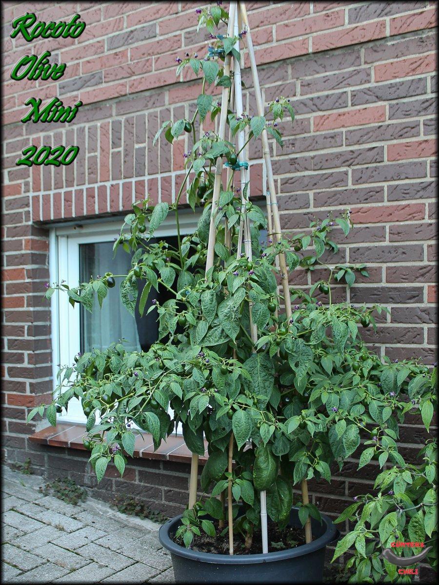Rocoto Olive Mini Pflanze 29082020.JPG