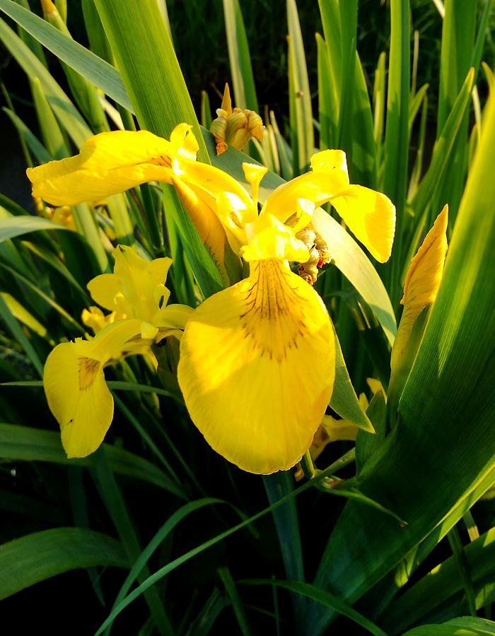Sumpfschwertlilie-1.jpg