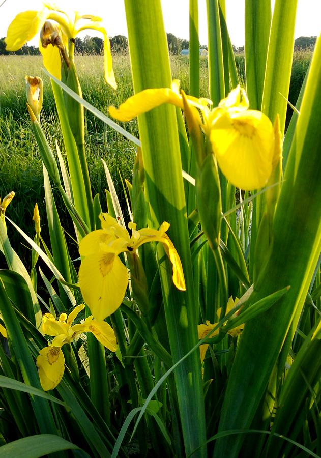 Sumpfschwertlilie-2.jpg