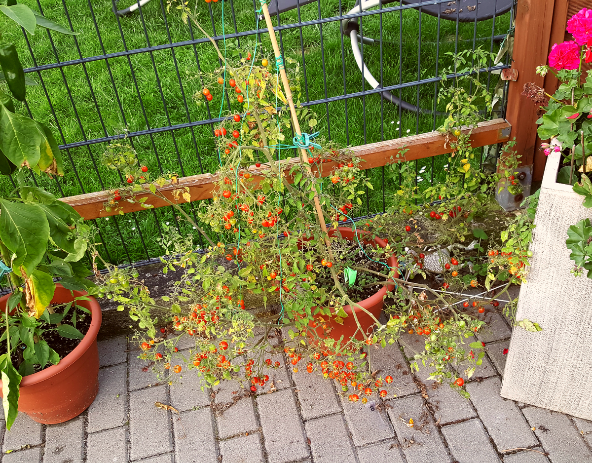 tomatenbackup1.png
