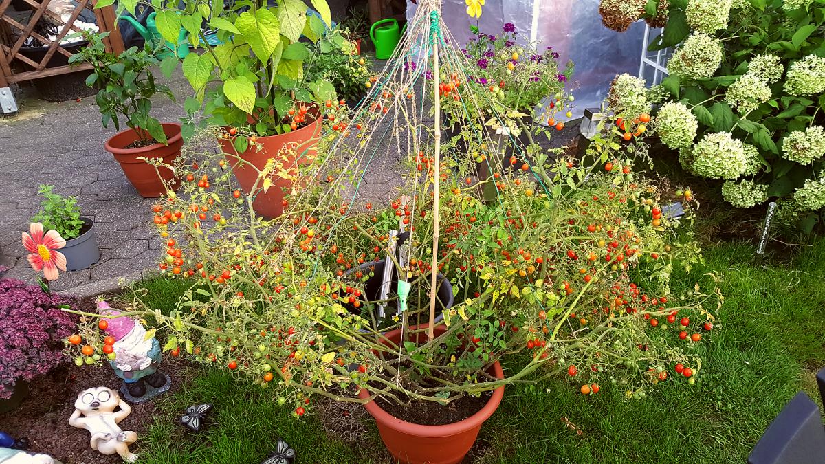 tomatenbackup2.png