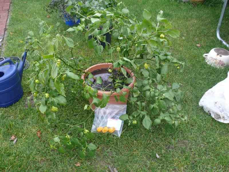 ÜW 6 Habanero GELB 3Pflanzen im Topf (1).jpg