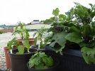 2020-06-19 Pflanzen nach Hagel (10).JPG