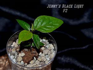 Jenny´s Black Light